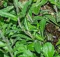Leucanthemopsis alpina at Lac de Mines d'Or (2).jpg