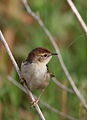 Levaillant's Cisticola, Cisticola tinniens at Marievale Nature Reserve, South Africa (24210414891).jpg