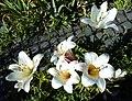 Lilium candidum - Wi.jpg