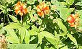 Lilium medeoloides 0s4.JPG
