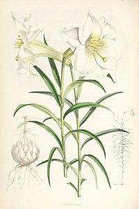 Lilium wallichianum