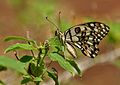 Lime Butterfly (Papilio demoleus) at Hyderabad W 174.jpg