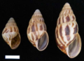 Limicolaria flammea shell.png