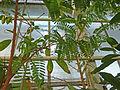 Limonia acidissima (DITSL).JPG