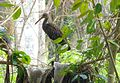 Limpkin. Aramus guarauna - Flickr - gailhampshire.jpg