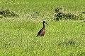 Limpkin (Aramus guarauna) (8077685311).jpg