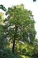 Linde Rotbuche Burkel 06.jpg