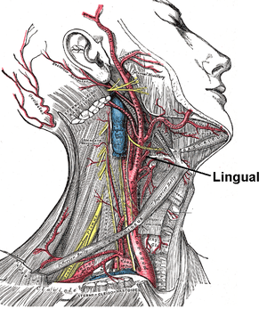 Lingual artery - Depiction of the neck with muscles and arteries shown. The lingual artery arises from the external carotid artery