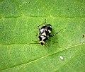 Liocoris tripustulatus (27982111379).jpg