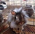 Lion mane rabbit (121696057).jpg