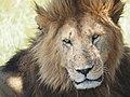 Lions @ Maasai Mara (20197554883).jpg