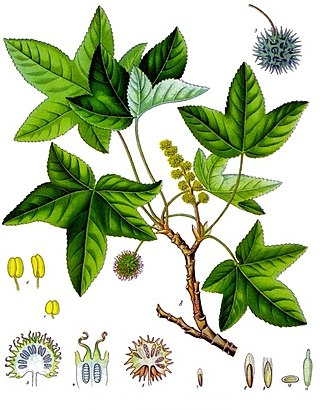 Liquidambar orientalis - 19th century illustration of Oriental Sweetgum