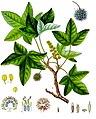 Liquidambar orientalis - Köhler–s Medizinal-Pflanzen-089.jpg