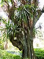 Lisbon botanical garden 25-Yucca elephantipes var. gigantea.JPG