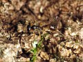 Little Parasitic Wasp (28810692115).jpg