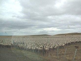 Muster (livestock) - Mustering Corriedales in Patagonia