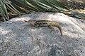 Lizard (540108642).jpg