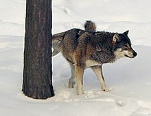 Photograph of a wolf lifting its leg to mark a tree with urine