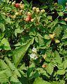 Loganberry plant.jpg