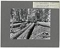 Logging- Skidding with Tractors - Oregon - DPLA - 6c8fc69f840a6c9baab6ca5c4a98f99b.jpg