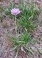 Lomelosia alpestris = Scabiosa alpestris (Caprifoliaceae = Dipsacaceae) (50055583196).jpg