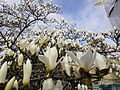 London barbican 07 magnolia.JPG