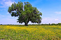Lone Oak in Saint Bernard Parish.jpg