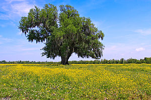Baylor Bears and Lady Bears - A field of yellow wildflowers