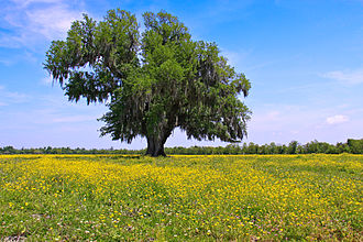 Louisiana - A field of yellow wildflowers in Saint Bernard Parish