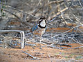 Long-tailed Ground-roller, Mangily, Madagascar 2.jpg