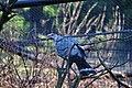 Lopholaimus antarcticus -Taronga Zoo, Sydney, Australia-8a (2).jpg