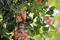 Lorikeet with its Head Out (6760540885).jpg
