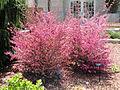 Loropetalum chinense - United States Botanic Garden - DSC09634.JPG