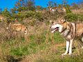 Loups de Mongolie (Canis lupus chanco).JPG