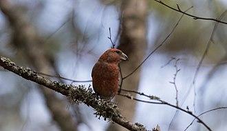 Parrot crossbill - Male parrot crossbill