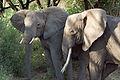Loxodonta africana -Lake Manyara National Park, Tanzania-8b.jpg