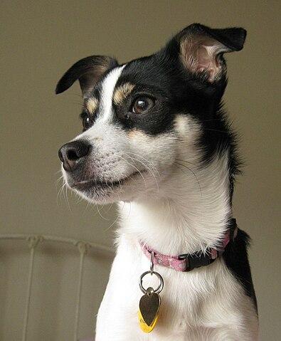 Rat terrier con orejas alerta