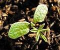 Lupinussucculentusbaby.jpg