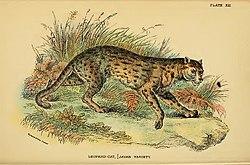 Lydekker - Leopard Cat (Javan variety).JPG
