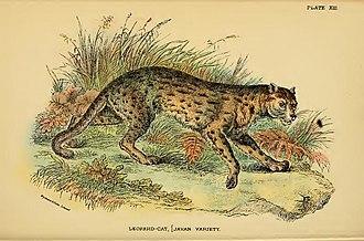 Wildlife of Laos - Leopard cat