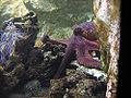 Lyon-aquarium-female-octopus-care-eggs.jpg