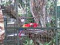 Macaws in dehiwala.jpg
