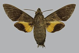 Macroglossum hemichroma BMNHE813822 female up.jpg