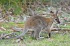 Macropus rufogriseus rufogriseus Juvenile 2.jpg