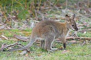 Bennett's Wallaby (Macropus rufogriseus rufogr...