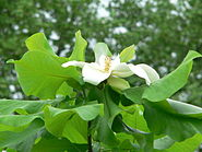 Magnolia ashei blossom