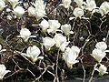 Magnolia denudata RJB.jpg