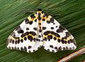 Magpie. Abraxas glossulariata - Flickr - gailhampshire.jpg