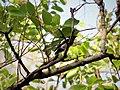 Magpie Robin Of Ranthambore.jpg