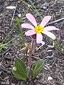 Mairia coriacea Vynbos 1.jpg